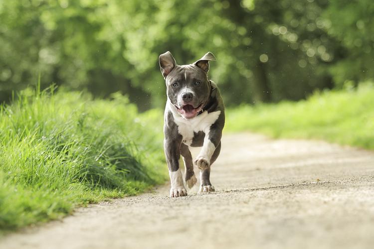 Kruizing Sheltie Bordercollie hond in de heide zonderondergang Gieten huisdieren fotografie groningen
