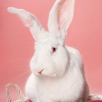 Lieve witte grote Vlaamse Reus konijn in studio fotografie Assen met roze achtergrond